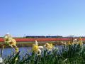 200402-bloemenvelden-Bert-1