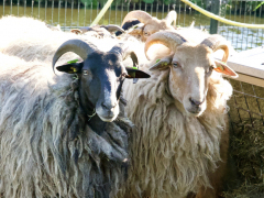 210624-schapenscheren-102