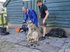 210624-schapenscheren-104