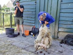 210624-schapenscheren-105