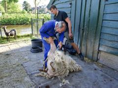 210624-schapenscheren-107