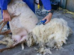 210624-schapenscheren-108