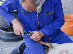 210624-schapenscheren-109