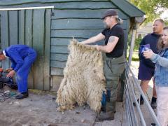 210624-schapenscheren-110