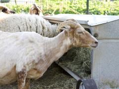 210624-schapenscheren-111