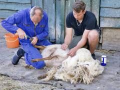 210624-schapenscheren-112