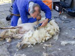 210624-schapenscheren-114