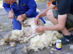 210624-schapenscheren-115