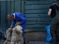 210624-schapenscheren-116