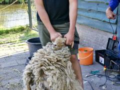 210624-schapenscheren-117