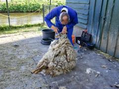 210624-schapenscheren-118