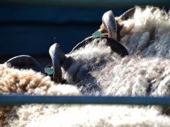 210624-schapenscheren-122