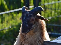 210624-schapenscheren-123
