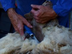 210624-schapenscheren-125