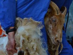 210624-schapenscheren-126