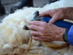 210624-schapenscheren-128