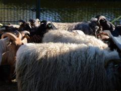 210624-schapenscheren-129