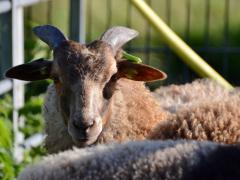210624-schapenscheren-130