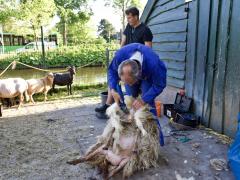 210624-schapenscheren-131
