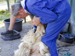 210624-schapenscheren-132
