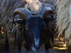 210624-schapenscheren-133