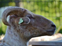 210624-schapenscheren-134