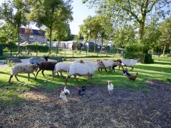 210624-schapenscheren-136