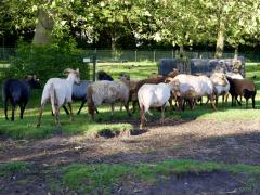 210624-schapenscheren-137