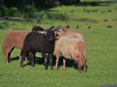 210624-schapenscheren-139
