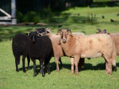 210624-schapenscheren-140