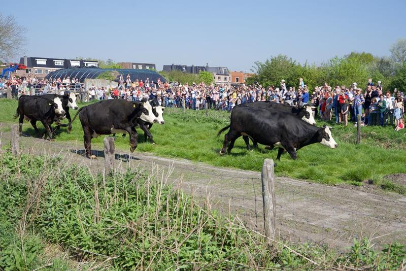 Honderden kijken naar dansende koeien