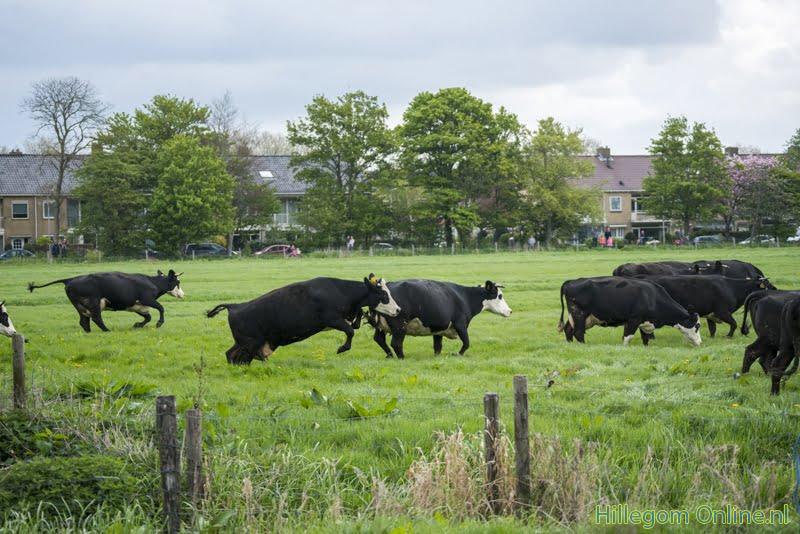 Koeien dansend de Elsbroekerwei in